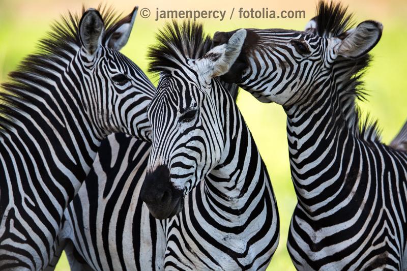 Zebra-Decke