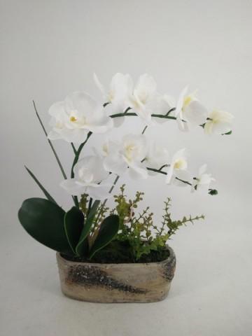 Orchidee Phalaenopsis mit Topf